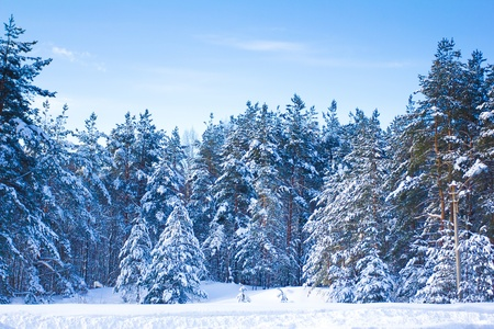 Spruce trees covered by snow on a sunny winter day Stock Photo - 10606225
