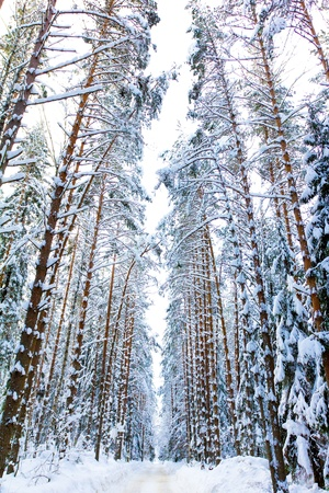 Snow Covered Trees Stock Photo - 10718933