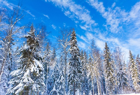Spruce trees covered by snow on a sunny winter day  Stock Photo - 10635232