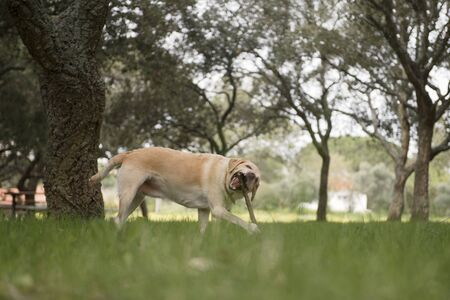 Portrait of labrador running forward in camera direction with stick in teeth on a field in the summer park, looking at camera. Green grass and trees background.
