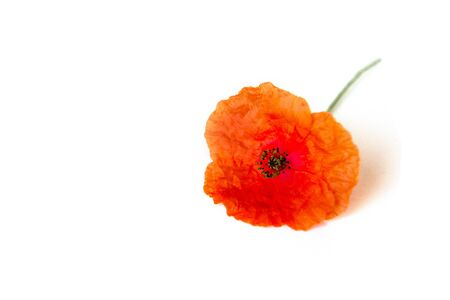 Red poppy beautiful flower isolated on white background. Symbol.