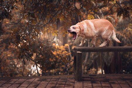 Yellow Labrador retriever in park with green tennis ball