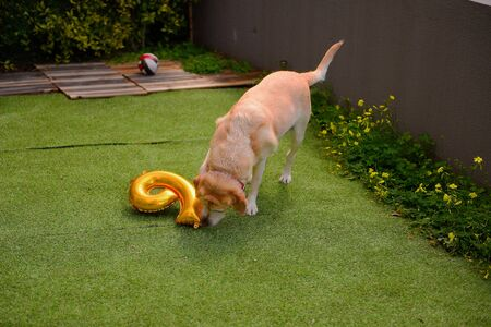 Birthday in dogs. Dogs birthday party.  Labrador play with balloon in garden. Stock Photo