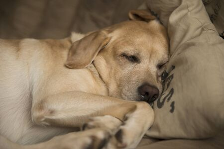 Yellow labrador retriever with beautiful eyes. Labrador on the couch sleeping.