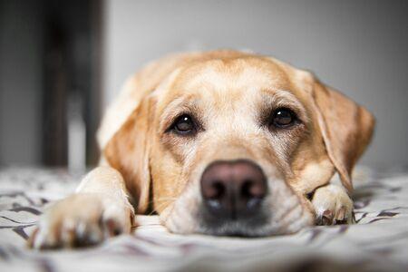 Portrait beautiful yellow labrador retriever. Labrador at home. Labrador on the bed. Stock Photo
