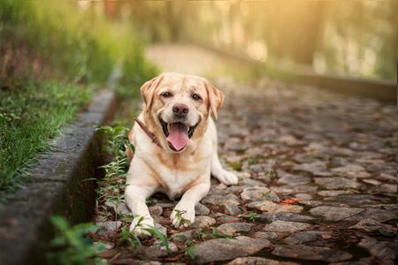 Yellow beautiful labrador retriever lies on a track in a park.