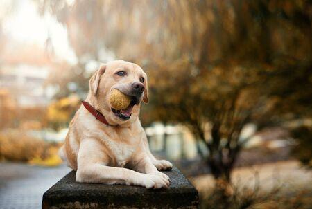 Yellow Labrador retriever in park with green ball Stock Photo