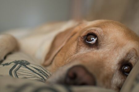 Yellow labrador retriever with beautiful eyes. Labrador on the couch.