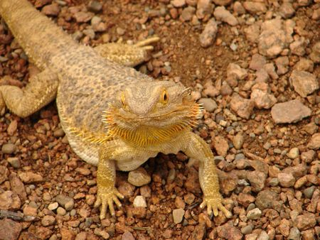 simple shot of a bearded dragon