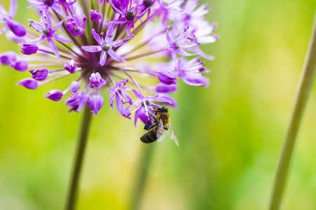 jul: Bee en una flor violeta