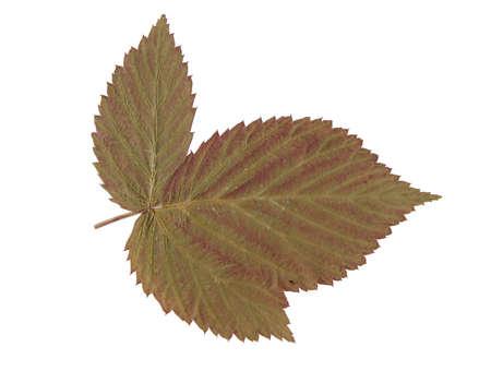 Autumn leaf over white background Stock Photo - 945830