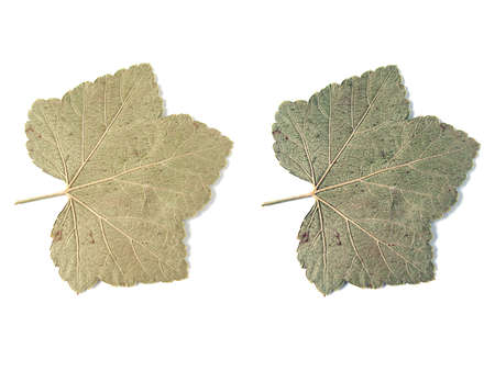 leaves over white background  Stock Photo - 945835