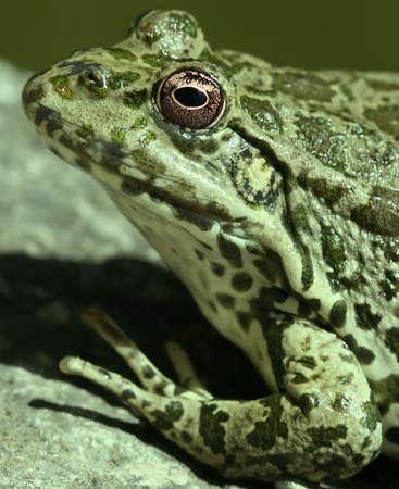 frog jump: close-up of green frog