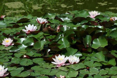 Many beautiful pink water lily (lotus) Stock Photo - 1683922