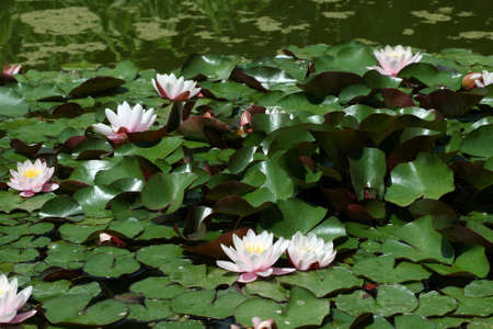 Many beautiful pink water lily (lotus) Stock Photo - 1683922