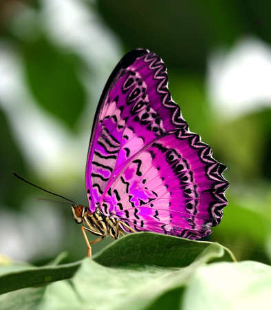 exotic butterflies: pink butterfly on leaf