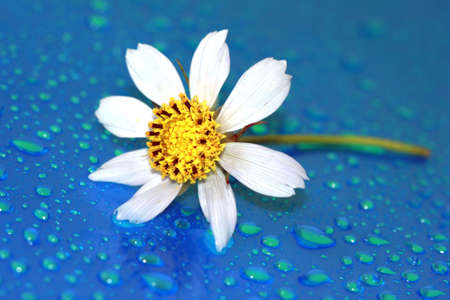 close-up of chamomile with water drop, macro  photo