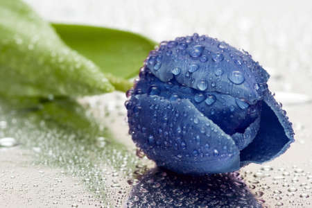 blue tulip with water drops