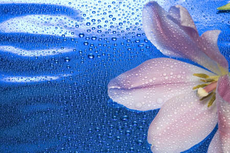 tulip with water drops on blue  Stock Photo - 2536969