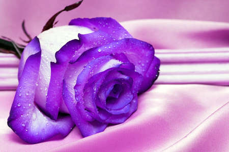 violet rose with water drops on pink satin  photo
