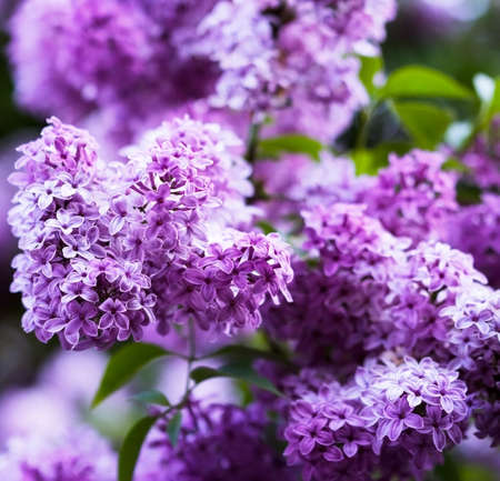 bunch of violet lilac flower Stock Photo - 3079264