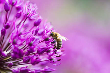 Bee on a violet flower Stock Photo - 3173756