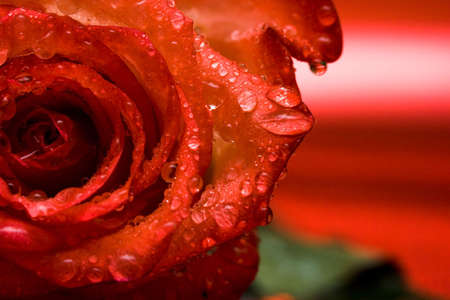 close-up of red rose with water drops Stock Photo - 3173759