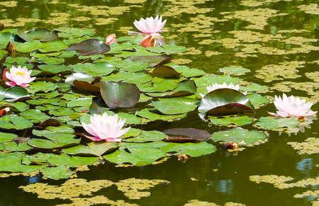 beautiful white water lily (lotus)  photo