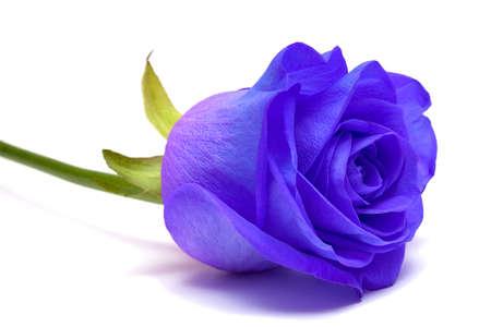 arrangements: blue rose on white background