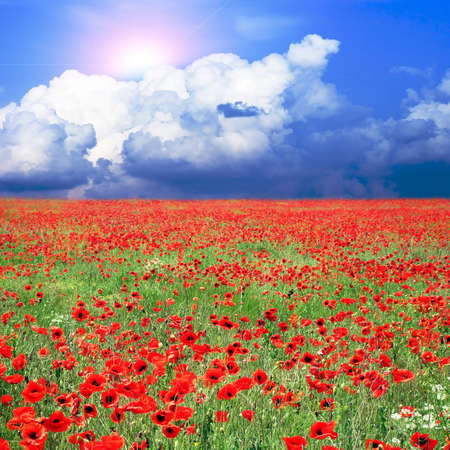 poppy flowers: meadow with many red poppies