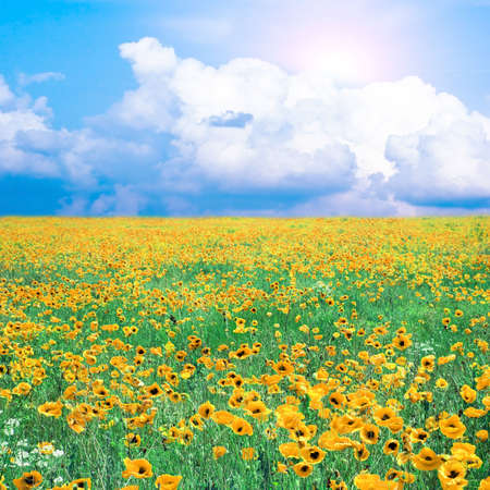 meadow with many yellow poppies  photo