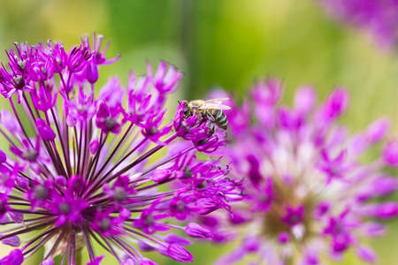 Bee on a violet flower  photo