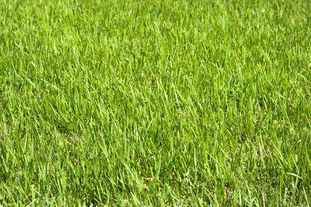 fresh green grass for background  photo