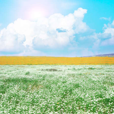 meadow with many white flowers  photo