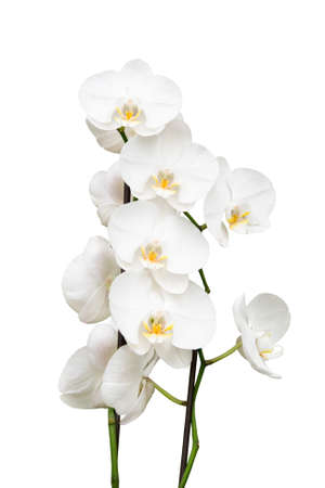 white orchid: orchid isolated on white background
