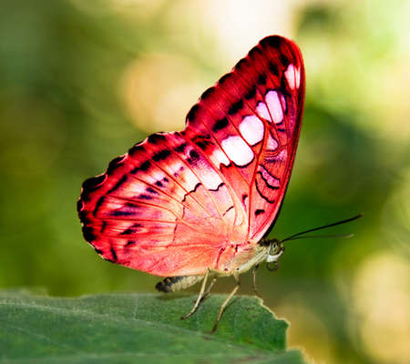 red butterfly on a green leaf  photo