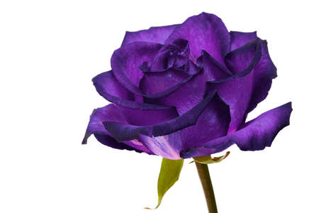 purple roses: violet rose on white background