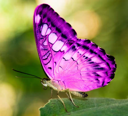 pink butterfly: pink butterfly on a green leaf  Stock Photo