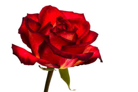 red rose on white background  Stock Photo - 4389396
