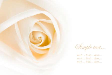 close-up of white rose, macro  photo