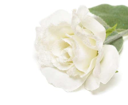 snowbound: close-up of white snow-bound rose  Stock Photo