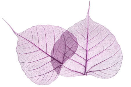 purple leaves isolated on white background Stock Photo - 4464430
