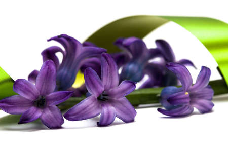 violet flowers isolated on white background