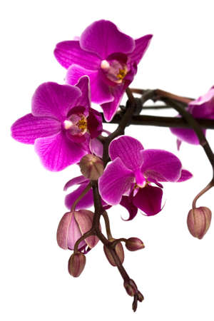 orchid isolated on white background  Stock Photo - 4722034