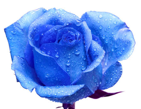 blue rose with water drops  photo