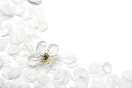 spring flowers of sakura on white background Stock Photo - 4793188
