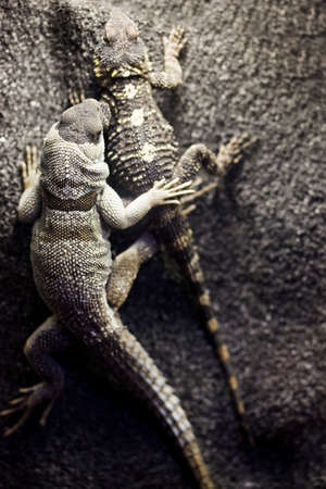 two lizards on a rock  photo