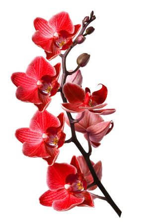 orchid isolated on white background Stock Photo - 5100520