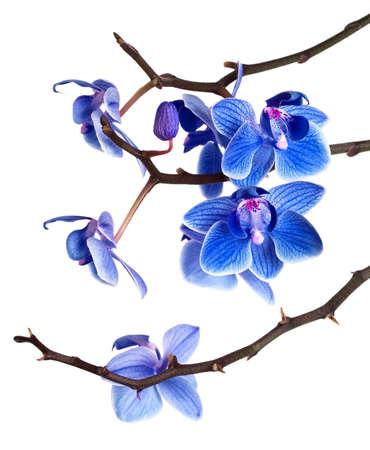 arreglo floral: orqu�deas aisladas sobre fondo blanco Foto de archivo