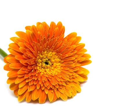 orange flower isolated on white background  photo